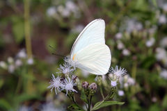 Butterfly. White butterlfy royalty free stock photography