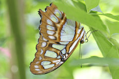 Butterfly. Resting on a leaf Royalty Free Stock Photography