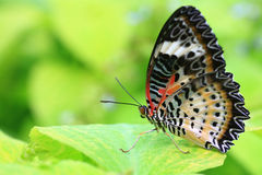 Free Butterfly Royalty Free Stock Photos - 6992868