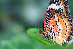 Butterfly. Beautiful butterfly stay on a green leaf Stock Photography