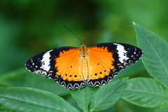 Butterfly. Beautiful butterfly stay on a green leaf Stock Images