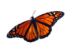 Butterfly. Monarch butterfly isolated on white background Stock Photography
