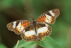 Butterfly. Little Commodore (Junonia sophia infracta stock images