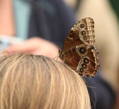 Butterfly. Perched on child's head Stock Image