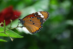 Butterfly. The Plain Tiger (Danaus chrysippus) resting on a stalk Royalty Free Stock Photos
