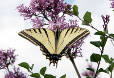 Butterfly. A butterfly on a Lilac bush royalty free stock photo