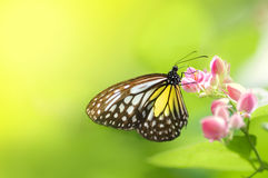 Butterfly. A butterfly feeding on flower Royalty Free Stock Photo