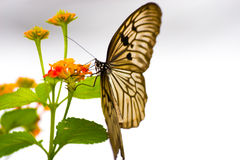 Butterfly. Sucks nectar in flowers Stock Image