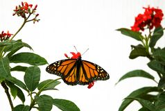 Butterfly 9. A monarch butterfly isolated on white background stock photos