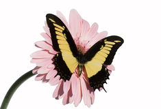 Butterfly. Harlequin butterfly on a flower royalty free stock photography