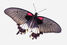 Butterfly. Isolated butterfly Royalty Free Stock Image