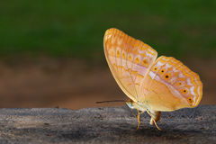 Butterfly. A butterfly on back lit a wood and the urinate butteflying Royalty Free Stock Photography