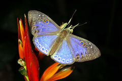 Butterfly. Blue Riodinid butterfly in the rainforest understory Stock Photography