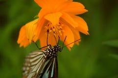Butterfly1 fotografia stock