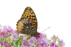 Butterfly. Great spangled fritillary butterfly on the flowers of a calandiva plant isolated on white Royalty Free Stock Photo