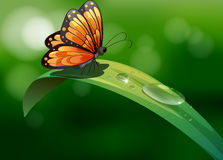 A butterfly above a leaf with water drops Stock Images
