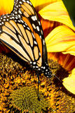 Butterfly abstract. A beautiful monarch butterfly (Danaus plexippus) rests on a sunflower royalty free stock images