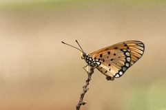 Butterfly - Acraea Violae On Dry Stick Stock Photography