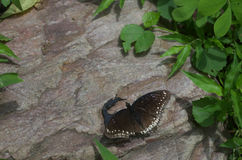 Butterfly. In action on stone stock photography