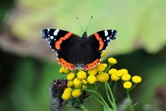 Butterfly Admiral Stock Photos
