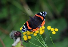 Butterfly Admiral Royalty Free Stock Photos