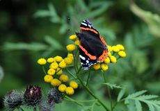 Butterfly Admiral Stock Images