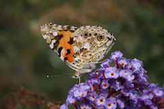 Butterfly Admiral. On a flower stock photos