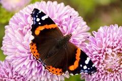 Butterfly admiral herbstaster vanessa atalanta royalty free stock photography