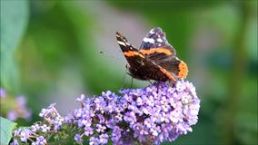 Butterfly Admiral  on lilac. Vanessa atalanta stock footage