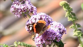 Butterfly Admiral on lilac, Vanessa atalanta stock footage