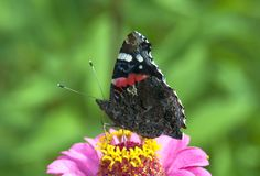 Butterfly the Admiral on a pink flower Royalty Free Stock Photo