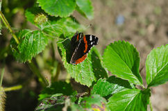 Butterfly admiral. Butterfly red admiral on a strawberry bush Royalty Free Stock Images