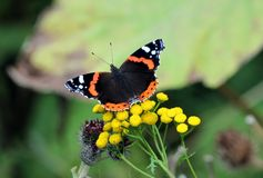 Butterfly Admiral Royalty Free Stock Images