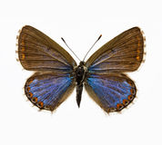 Butterfly - Adonis Blue Stock Photos