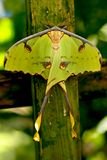Butterfly African Moon Moth. Shallow DOF. A large green African Moon Moth. The African moon moth (Argema mimosae) is a giant silk moth of the Family Saturniidae Stock Photo