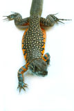 Butterfly Agama Lizard Royalty Free Stock Photo