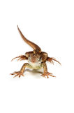 Butterfly Agama Lizard (Liolepis belliana). Isolated on white background stock image