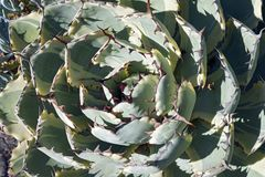 Butterfly agave Agave potatorum Kichijokan. Called Lucky Crown Century plant and Dwarf Variegated Butterfly agave also. Synonym: Agave x Kissho Kan Royalty Free Stock Photography