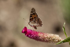 Butterfly Aglais Ichnusa of the Celesia Flower Royalty Free Stock Photo