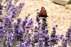 Butterfly Aglais io on flower, macro. Stock Photos