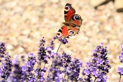 Butterfly Aglais io on flower, macro. Royalty Free Stock Photography