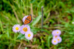 Butterfly Aglais urticae L. Royalty Free Stock Photo