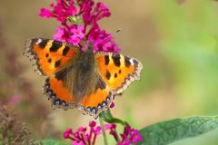 Butterfly aglais urticae lilac flower Royalty Free Stock Photos