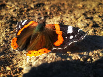 Butterfly Aglais urticae is sitting on ground Royalty Free Stock Photo