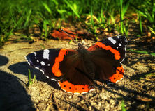 Butterfly Aglais urticae is sitting on the ground near the grass Stock Image
