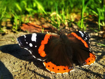 Butterfly Aglais urticae is sitting on ground near the green Stock Photography