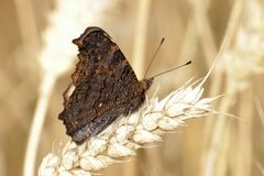 Small tortoiseshell butterfly in field of wheat. stock photos
