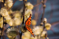 Butterfly (Aglais urticae). Urticaria (Aglais urticae) - bright orange butterfly Royalty Free Stock Photos
