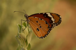 Butterfly. In Ahmadabad Gujarat, India royalty free stock image