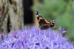 Butterfly on a Allium flower Royalty Free Stock Photography